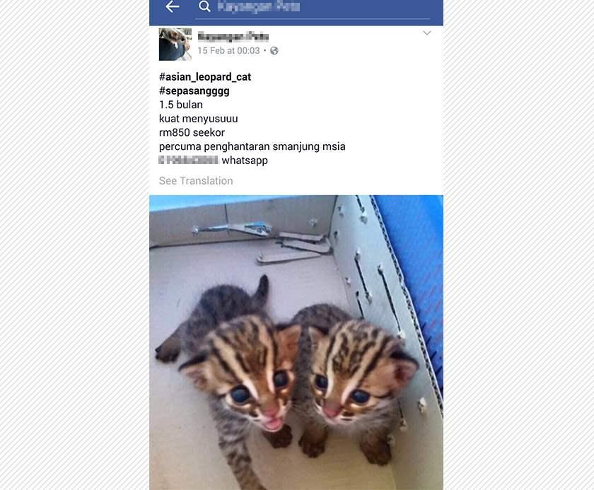 Di Malaysia Jual Beli Satwa Langka Lewat Facebook kucing hutan