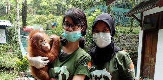 Orangutan Dijual Melalui Group FB Malaysia