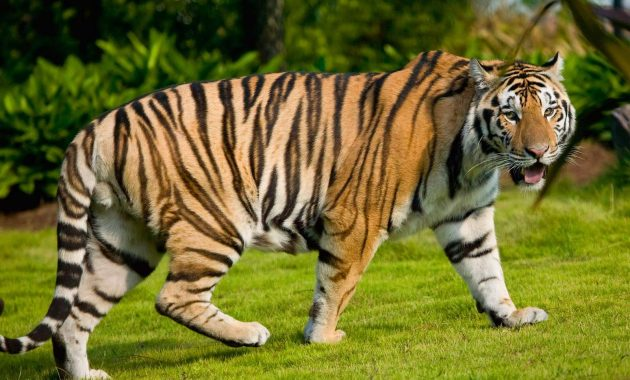 Populasi Harimau Dunia 2016 Terbaru